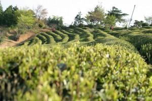 Korean Green Tea Farm