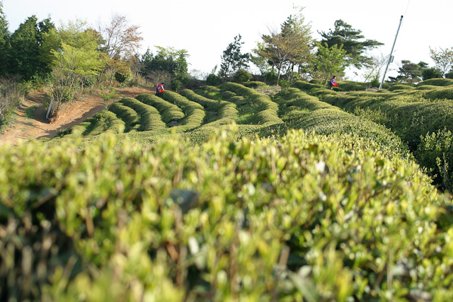 Boseong Green Tea Plantaition