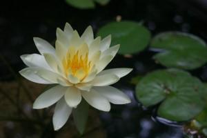 Korean Lotus Flower