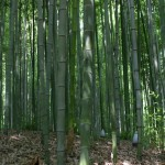South Kore Bamboo Forest