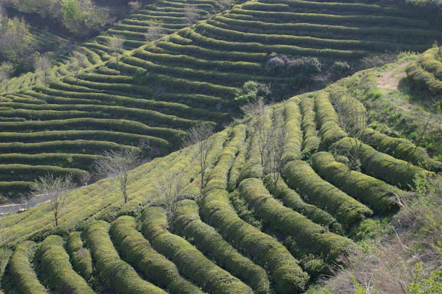 tea fields in south korea